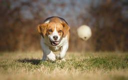 Cane del cane da lepre che insegue palla Immagini Stock Libere da Diritti