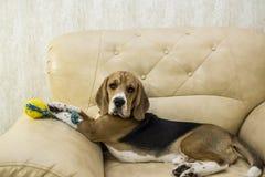 Cane del cane da lepre che si trova sullo strato Fotografia Stock