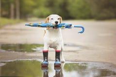 Cane del cane da lepre nei wellies Fotografia Stock Libera da Diritti