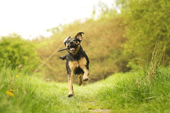 Cane del canelupo di Rottweiler Immagine Stock Libera da Diritti