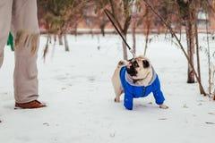 Cane del carlino che cammina sulla neve con il suo padrone Cappotto d'uso di inverno del cucciolo immagine stock