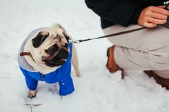 Cane del carlino che cammina sulla neve con il suo padrone Cappotto d'uso di inverno del cucciolo immagini stock