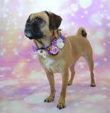 Cane del carlino che indossa collare floreale Fotografia Stock Libera da Diritti