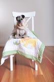 Cane del carlino che si siede sulla sedia Fotografia Stock Libera da Diritti