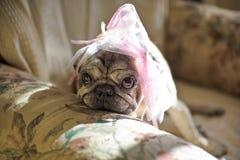 cane del carlino con un arco rosa sulla sua testa Immagini Stock