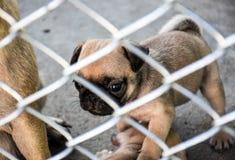 Cane del carlino del cucciolo che guarda qualcuno dentro la gabbia Immagini Stock Libere da Diritti