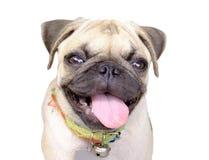 Cane del carlino di sorriso su fondo bianco Immagini Stock
