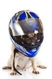 Cane del carlino isolato sul casco bianco della motocicletta del fondo Immagini Stock