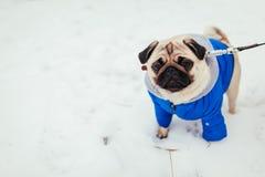 Cane del carlino in vestiti che cammina sulla neve in parco Cappotto d'uso di inverno del cucciolo fotografia stock