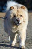 Cane del chow-chow Fotografie Stock Libere da Diritti