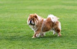 Cane del chow-chow sul campo verde fotografia stock libera da diritti