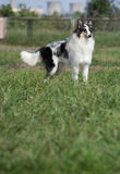 Cane del Collie Fotografie Stock