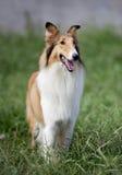 Cane del Collie fotografia stock