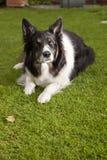 Cane del collie di bordo Fotografia Stock