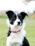 Cane del Collie di bordo Fotografie Stock
