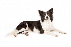 Cane del Collie di bordo che osserva in avanti Immagini Stock
