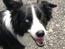 Cane del collie di bordo con colore differente dell'occhio fotografie stock libere da diritti