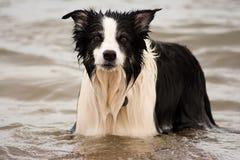 Cane del collie di bordo nel mare Immagini Stock