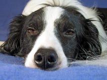 Cane del Collie sonnolento Fotografia Stock Libera da Diritti