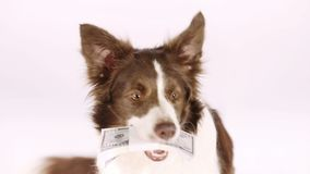 Cane del confine delle collie con la pila di fatture cinquanta dollari in suoi denti archivi video