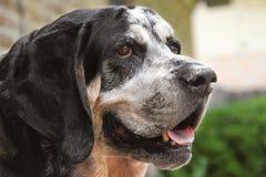 Cane del Coonhound di Bluetick Fotografia Stock