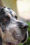 Cane del Coonhound di Bluetick Immagini Stock Libere da Diritti