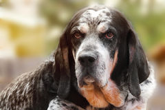 Cane del Coonhound di Bluetick Immagini Stock
