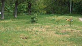 Cane del Corgi che gioca con la palla all'aperto video d archivio