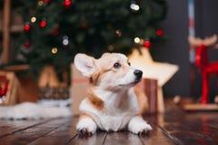 Cane del Corgi con l'albero di Buon Natale immagini stock
