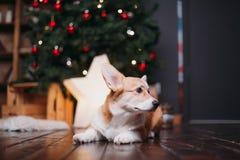 Cane del Corgi con l'albero di Buon Natale fotografie stock libere da diritti