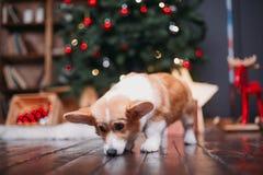 Cane del Corgi con l'albero di Buon Natale fotografie stock