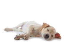 Cane del cucciolo Fotografie Stock