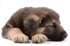 Cane del cucciolo Fotografia Stock Libera da Diritti
