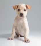 Cane del cucciolo Immagine Stock