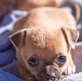 Cane del cucciolo che riposa e stanco Immagini Stock