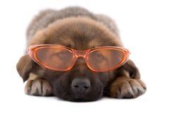 Cane del cucciolo con gli occhiali da sole Fotografia Stock Libera da Diritti