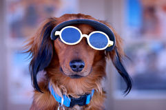 Cane del cucciolo degli occhiali da sole Immagini Stock