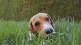 Cane del cane da lepre che gioca nell'erba archivi video