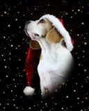 Cane del cane da lepre di Natale che porta un cappello di Santa immagini stock libere da diritti
