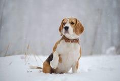 Cane del cane da lepre nel legno in forte nevicata Fotografie Stock
