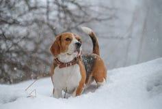 Cane del cane da lepre nel legno in forte nevicata Fotografia Stock Libera da Diritti