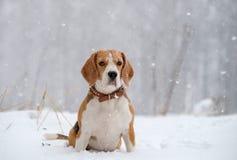 Cane del cane da lepre nel legno in forte nevicata Fotografia Stock