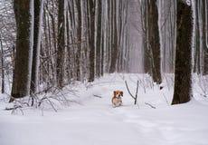 Cane del cane da lepre nel legno in forte nevicata Immagini Stock Libere da Diritti
