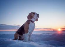 Cane del cane da lepre su una passeggiata al tramonto su una sera di marzo Immagine Stock Libera da Diritti