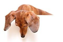Cane del Dachshund che osserva giù fotografie stock