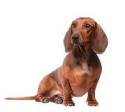 Cane del Dachshund isolato sopra priorità bassa bianca Immagini Stock Libere da Diritti