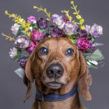 Cane del Dachsund in una corona del fiore Fotografia Stock