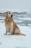 Cane del documentalista dorato al mare di inverno fotografia stock