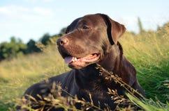 Cane del documentalista in un'erba al tramonto Fotografie Stock