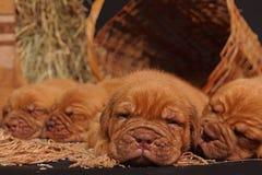Cane del Dogue De Bordeaux immagini stock libere da diritti